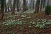Photograph from Hopton Hall snowdrops